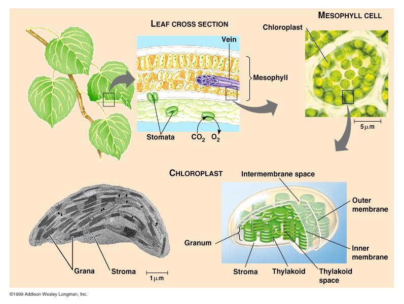 ch9chloroplast